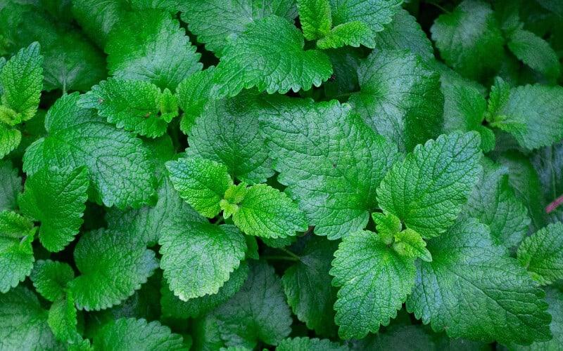 Close up of a bushel of mint leaves.