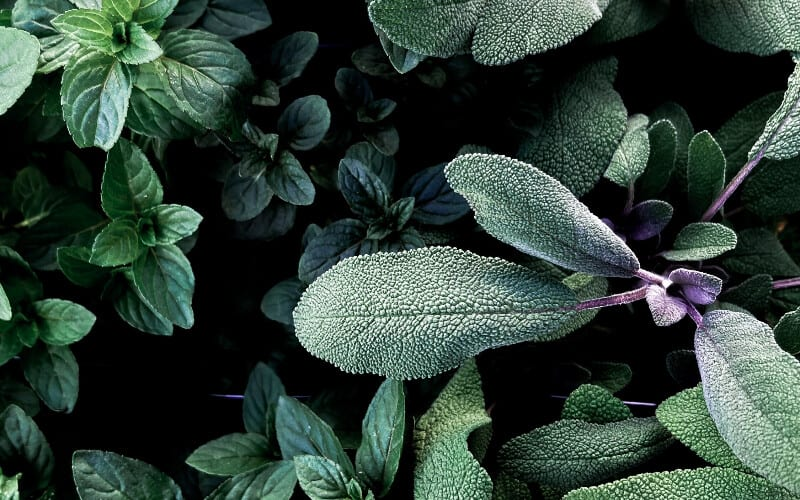 Close up of green and purples leaves on a sage plant.