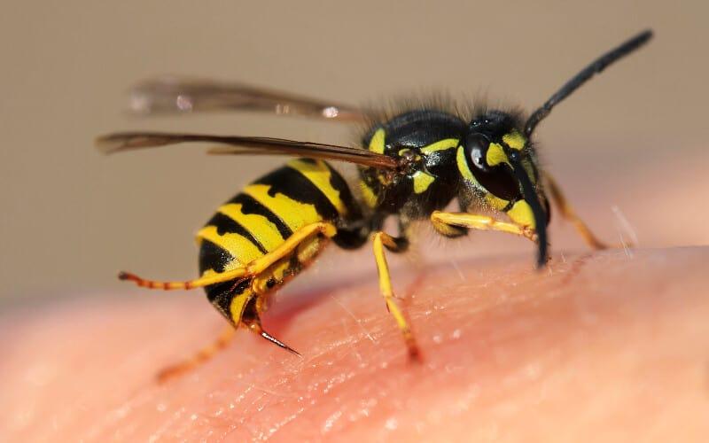 Close up of a yellow and black wasp stinging human skin.