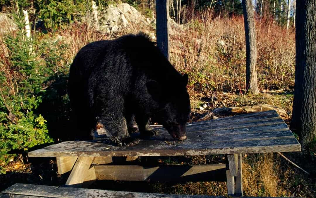 How to keep animals away from your campsite banner showing a bear on a picnic table.