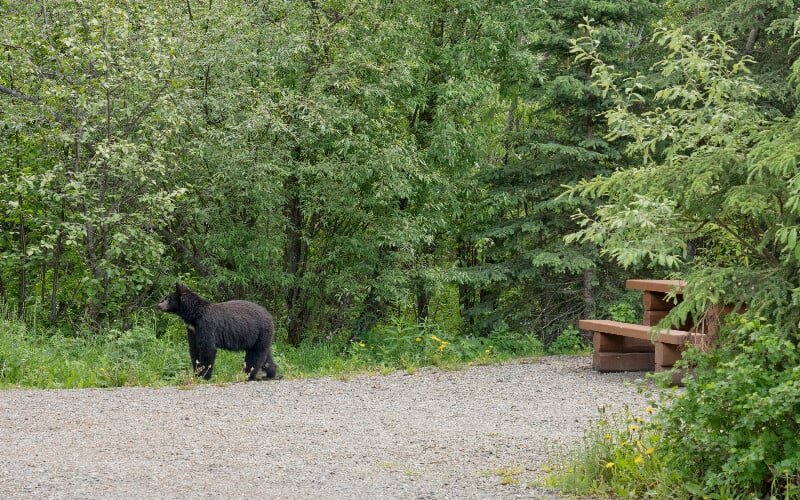 Tips on how to keep animals away from your campsite: a baby bear roaming a campsite.