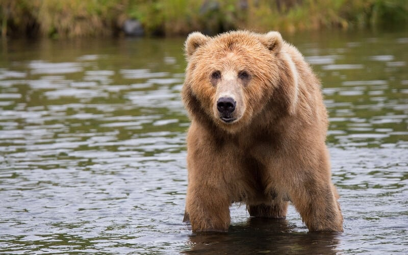 A bear standing in the river, looking at a campsite behind the camera.