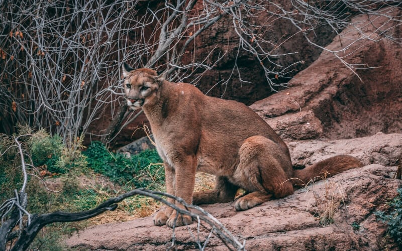 A cougar perched on a rock in the woods.