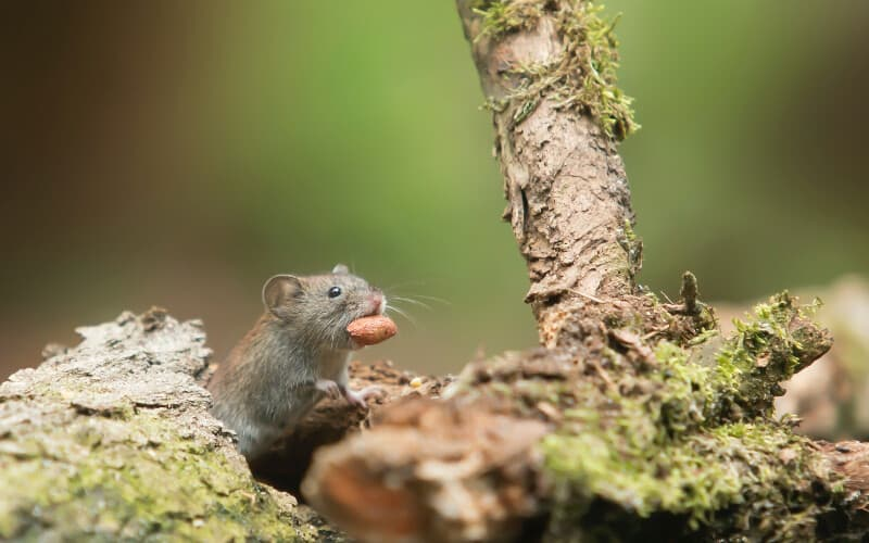 A small rodent carrying food near a tree.
