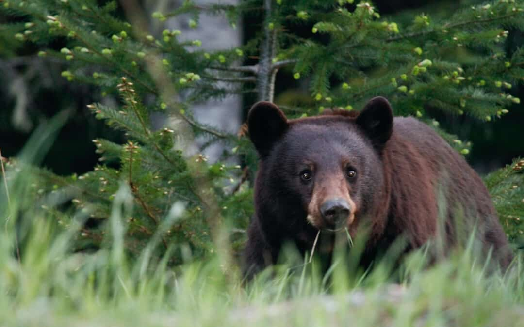 Bear crouching in the grass: how to survive a bear attack.
