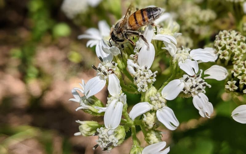 Close up of a bee harvesting pollen on an allergy-inducing white-flowered plant.